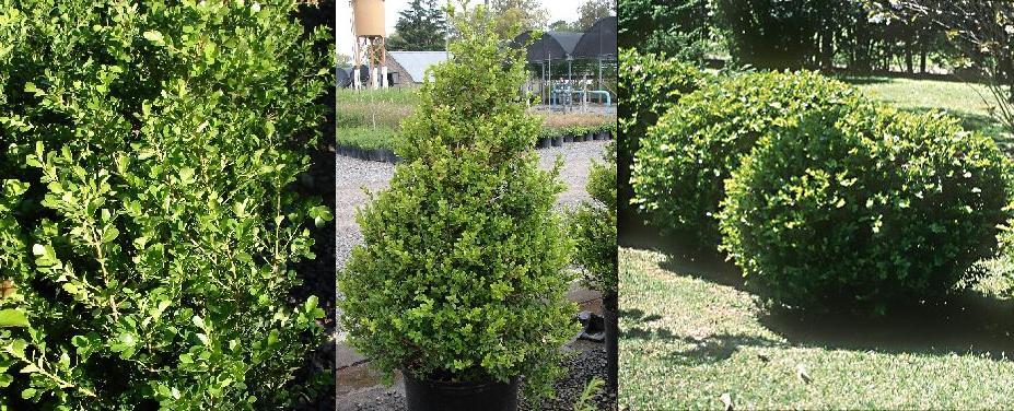 Arbustos perennes con flor arbusto vigoroso de hoja for Arbustos de hoja caduca