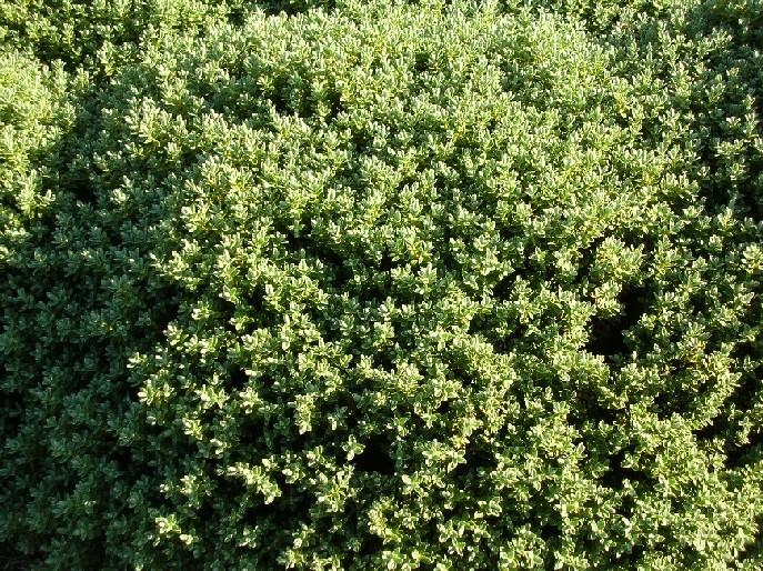 Plano del vivero for Hebe arbusto