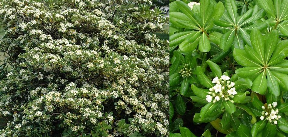 Ficha de pitosporo o azahar de la china pitosporum tobira - Arbusto pequeno con flores ...